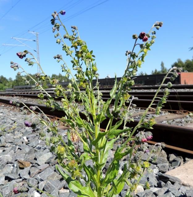Cynoglossum officinale - rohtokoirankielen kukat ovat haaroissa yksipuolisena viuhkona. Kerrallaan niistä vain muutama on kukintavaiheessa. Kukintohaara pitenee kärjestään kukinnan edetessä ja loppuvaiheessa kukkineita kukkia ja hedelmyksiä on jonomaisesti tavallisesti noin 15-25. Tällöin kukinnon pituus voi olla jopa 30 cm. EH, Nokia, Myllyhaka, Raision Melian myllyalue Rounionkadun ja rautatien välissä, radanvarsi aidatun myllyalueen kulmassa, 21.6.2016. Copyright Hannu Kämäräinen.