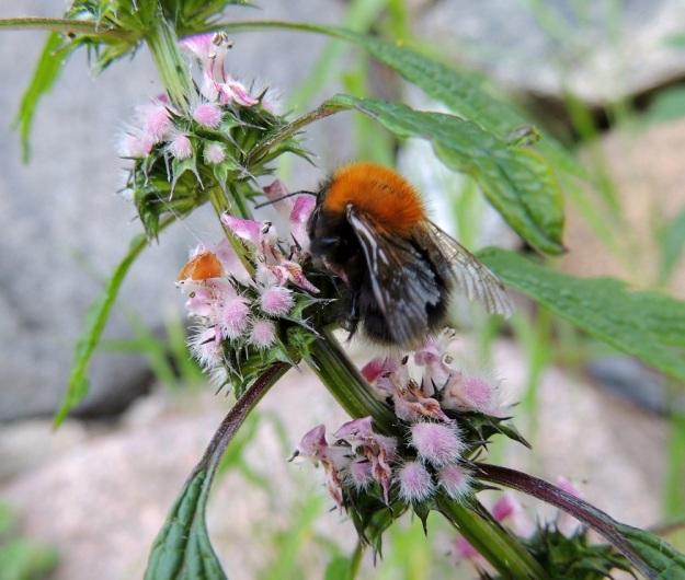 Leonurus cardiaca subsp. cardiaca - rohtonukulan subsp. lännenrohtonukulan kukat ovat kaksineuvoisia ja pitkätorvisia. Torven tyvellä on pyöreä mesiäinen, jota tavoitellessaan hyönteiset pölyttävät kukan. Pitkätorvinen kukka soveltuu erityisesti isompien pistiäisten pölytettäväksi. EH, Hattula, Hurttala, keskiaikainen Pyhän Ristin kirkko, kirkkotarhaa ympäröivän kiviaidan laita, 8.7.2014. Copyright Hannu Kämäräinen.
