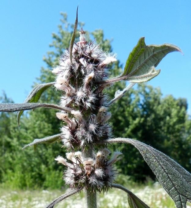 Leonurus cardiaca subsp. villosus - rohtonukulan subsp. villarohtonukulan kukat ovat lehtihangoissa yleensä noin 10-18 kukan viuhkoina eli valekiehkuroina, jotka yhtyvät tiiviiksi, puolipallomaiseksi osakukinnoksi. Teriö on vaaleanpunainen tai alahuulta lukuun ottamatta valkoinen. U, Helsinki, keskusta, Töölönlahden eteläpään kaakkoiskulman ja rata-alueen välinen joutomaa-alue Finlandia-talon pohjoispuolella, 6.7.2012. Copyright Hannu Kämäräinen.