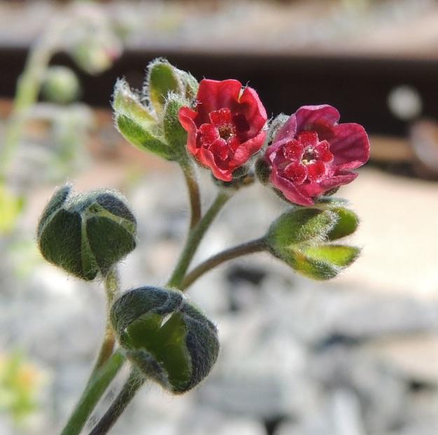 Cynoglossum officinale - rohtokoirankielen teriö on yhdislehtinen, kärkiosastaan kellomainen ja viisiliuskainen. Liuskat ovat noin 2-2,5 mm pitkät ja noin 2-3 mm leveät sekä tylppä- tai pyöreäpäiset. Teriönsä tiputtaneiden verhiöiden koko alkaa nopeasti kasvaa ja alimmassa niistä näkyy, kuinka hedelmälohkot alkavat kehittyä. Niiden välissä oleva, kukinnan aikaan vain noin 2 mm pitkä emin vartalo vankistuu. EH, Nokia, Myllyhaka, Raision Melian myllyalue Rounionkadun ja rautatien välissä, radanvarsi aidatun myllyalueen kulmassa, 21.6.2016. Copyright Hannu Kämäräinen.