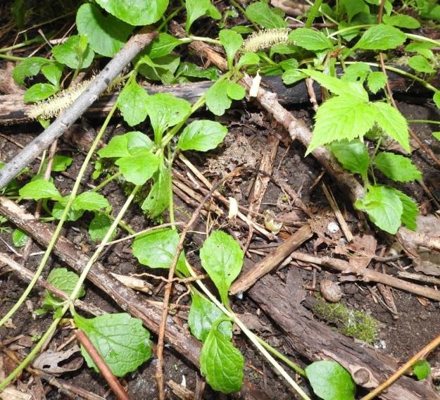 Ajuga reptans - rönsyakankaalin tieteellinen ja suomalainen nimi viittaavat tyveltä kasvaviin ja jopa 50 cm pitkiin pintarönsyihin. Rönsyt ovat kaljut ja niiden juurehtiviin nivelkohtiin kasvaa aluksi yksi lehtipari. Lehdet ovat ruodilliset ja soikeat tai lähes pitkänpyöreät. Niiden ruoti on kapeasti siipipalteinen ja lapa on useimmiten noin 2-4 cm pitkä ja leveimmältä kohtaa noin 1-2,5 cm leveä. EH, Kouvola, Kuusankoski, Savonsuon entinen, peitetty ja laidoiltaan metsittynyt teollisuuskaatopaikka-alue, johon ajettu myös puutavaran varastokenttien pohjia, 11.6.2017. Copyright Hannu Kämäräinen.