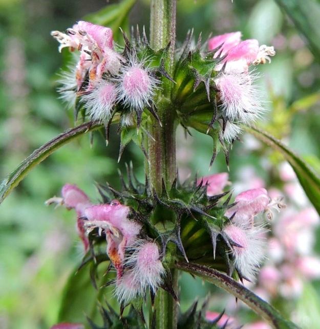 Leonurus cardiaca subsp. cardiaca - rohtonukulan subsp. lännenrohtonukulan kukan verhiö on kellomainen, kärjestään viisiliuskainen ja liuskoihin päättyen vahvan kohosuoninen. Sen pituus ilman kärkiliuskoja on tavallisesti noin 3,5-4,5 mm. Kärkiliuskat ovat leveätyvisen piikkimäiset ja yleensä noin 1,5-2,5 mm pitkät. Verhiö on muuten vihreä mutta usein liuskoistaan sinipunainen. Kärkiosa ja liuskat ovat lyhytvartisen nystykarvaiset. EH, Hattula, Hurttala, keskiaikainen Pyhän Ristin kirkko, kirkkotarhaa ympäröivän kiviaidan laita, 30.7.2015. Copyright Hannu Kämäräinen.