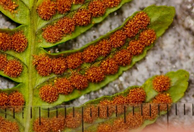 Polypodium vulgare - pohjankallioimarteen itiöpesäkeryhmät ovat lopulta noin 2 mm läpimitaltaan. EH, Hämeenlinna, Luhtiala, Aulangonjärven kaakkoispään koillispuoli, Käärmekallio, luonnonsuojelualue, 1.5.2011. Copyright Hannu Kämäräinen.
