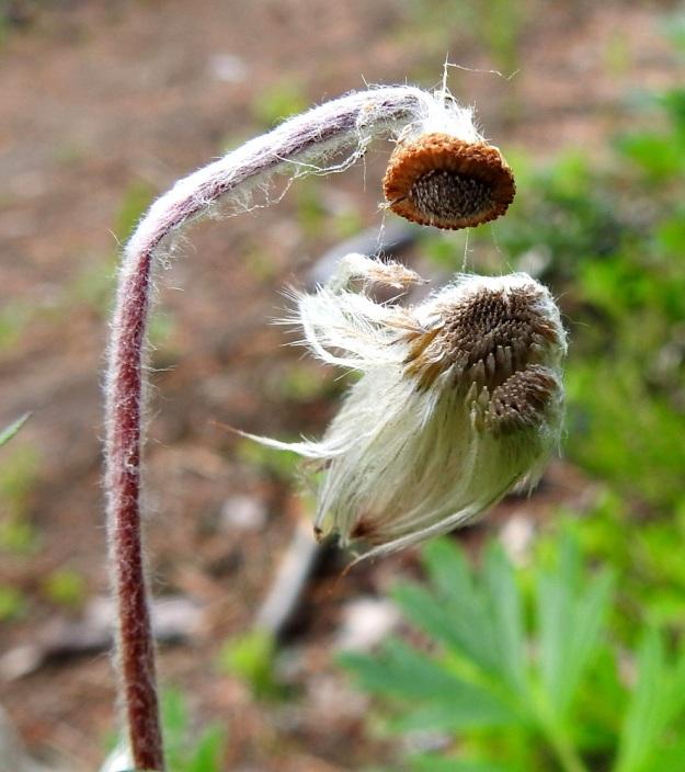 Pulsatilla patens x vernalis - liilakylmänkukka, (hämeenkylmänkukka x kangasvuokko). Kukkaperä pitenee kukinnan jälkeen enimmillään jopa 30 cm pitkäksi. Risteymään kehittyy hyvin vähän tai ei ollenkaan pähkylöitä. Kukinnan lopputuloksena syntyvät harvat pähkylät ovat lisääntymiskyvyttömiä. Kuvan kokonaisena irronneen lenninhaiventukon oikeassa laidassa näkyy tummempana muutamia, kehittymättömiä pähkylänalkuja. EH, Hämeenlinna, Tuulos, Mäntynummi, 16.6.2019. Copyright Hannu Kämäräinen.