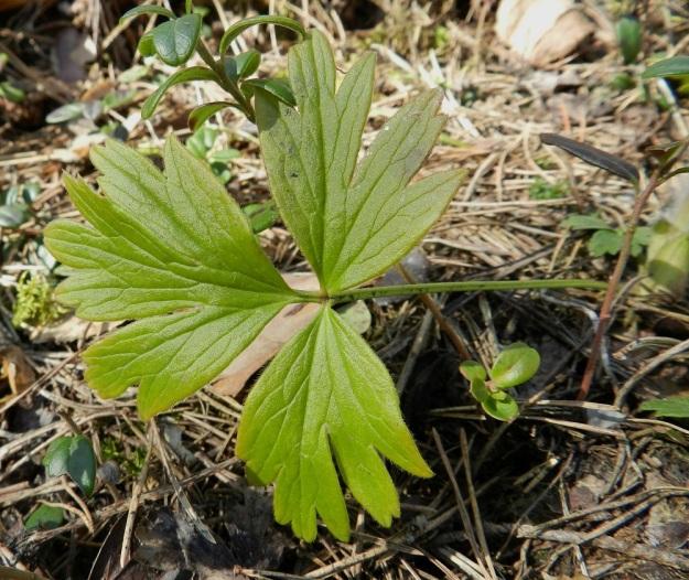 Pulsatilla patens x vernalis - liilakylmänkukka, (hämeenkylmänkukka x kangasvuokko). Osa risteymän aluslehdistä talvehtii täysin vahingoittumattomina. Kuvan lehdestä vain ruodin karvoitus on karissut talven matkalle. Ruoti on yleensä noin 10-20 cm pitkä. Lehtilapa on lehdyköiden määrästä riippuen noin 5-10 cm pitkä. Sivulehdykät ovat ruodittomia, mutta toisin kuin hämeenkylmänkukalla, päätölehdykkä on ruodillinen. Lehdykät ovat syvään jakoisia ja kärjestään leveähköliuskaisia tai -hampaisia. EH, Hämeenlinna, Tuulos, Mäntynummi, 1.5.2012. Copyright Hannu Kämäräinen.