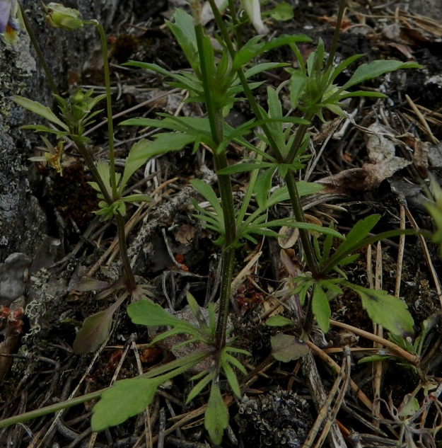 Viola tricolor - keto-orvokin varsilehtien lapa on nyhälaitainen, puikea, soikea tai suikea, useimmiten kiilatyvinen ja tylppä- tai teräväkärkinen. Se on yleensä noin 1-4 cm pitkä ja leveimmältä kohtaa noin 0,5-1 cm leveä. Varsilehtien ruoti on noin 0,5-2 cm pitkä. Lehden molemmin puolin ovat sen kokoon nähden suhteettoman kookkaat ja liuskaiset korvakkeet. EH, Hämeenlinna, Luhtiala, Aulangonjärven koillisrannan rantakalliojyrkänne, Levonkallio, 23.6.2012. Copyright Hannu Kämäräinen.