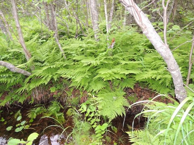 Diplazium sibiricum - taigamyyränporras on Suomessa harvinainen ja itäinen laji, jonka voi hyvällä onnella tavata mm. varjoisista lehtokorvista, purojen ja allikoiden laiteilta sekä kallionaluslehdoista ja rotkolaaksoista. Kn, Suomussalmi, Kiannanniemi, Vasonniemi, Kiantajärven Lautalahden rantaan loivasti laskeva metsänotkelma, joka muuttuu allikkoiseksi leppäkorveksi, luonnonsuojelualue, 12.7.2015. Copyright Hannu Kämäräinen.