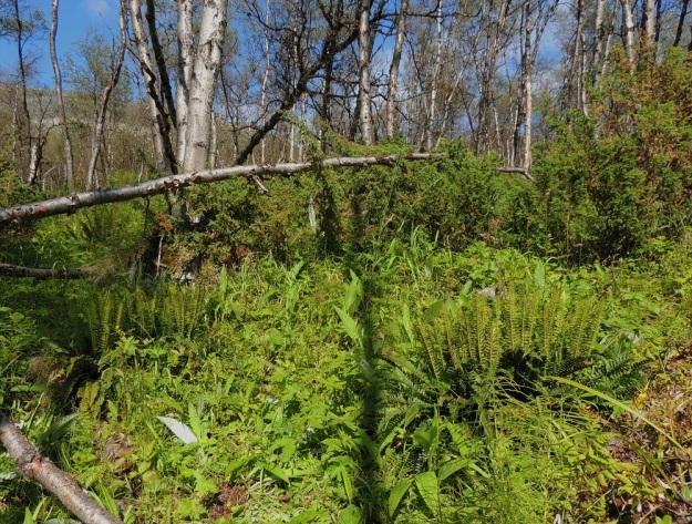 Polystichum lonchitis - suippohärkylä on Suomessa harvinainen, rauhoitettu laji, jonka yksilömäärästä valtaosa kasvaa Käsivarren Lapin kärkiosassa. Siellä sen kasvupaikkoja ovat lähinnä varjoisat tunturikivikot, rinneseinämien tyvet ja hyllyt sekä tunturikoivikot. EnL, Enontekiö, Kilpisjärvi, Saanan lounainen alarinne lehtojensuojelualueen lounaispuolella, Käsivarrentieltä (21) loivasti Saanaa kohti nouseva tunturikoivikkorinne, 16.7.2013. Copyright Hannu Kämäräinen.