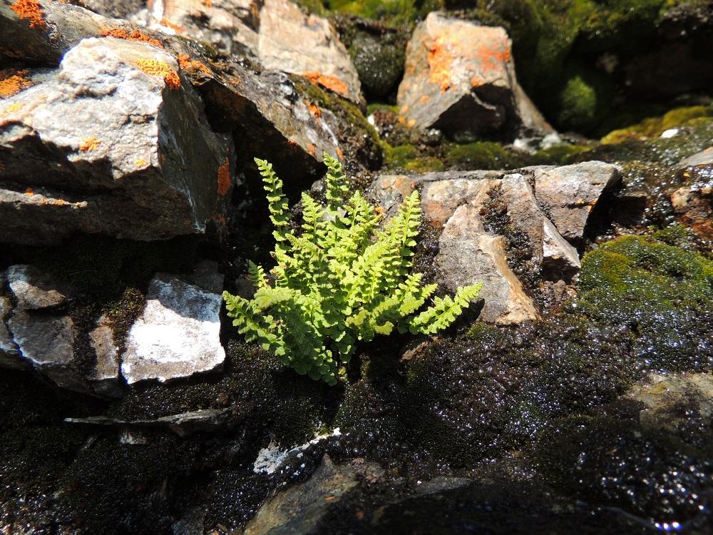 Woodsia glabella - kaljukiviyrtti on kalkinsuosija, joka kasvaa kalliorinteillä ja -seinämillä sekä louhikoissa. Sitä esiintyy harvinaisena vain Koillismaan, Kittilän Lapin, Enontekiön Lapin ja Inarin Lapin eliömaakunnissa. EnL, Enontekiö, Kilpisjärvi, Saanan lounaisrinne, ensimmäinen, matala pahtaseinämä tunturikoivikkorinteessä, retkeilykeskuksen kohdalla, luonnonsuojelualue, 600 m mpy, 17.7.2013. Copyright Hannu Kämäräinen.
