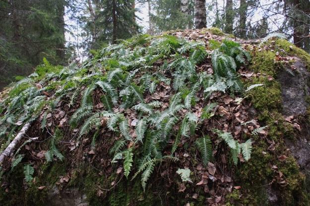 Polypodium vulgare - pohjankallioimarre mielellään valtaa myös varjoisten, isojen kivenlohkareiden päällystän. Sille riittää, että valloituksen pioneerityön on tehnyt riittävän tiheästi ja tukevasti kasvava sammalikko. EH, Hämeenlinna, Luhtiala, Aulangonjärven kaakkoispään koillispuoli, Käärmekallio, luonnonsuojelualue, 1.5.2011. Copyright Hannu Kämäräinen.