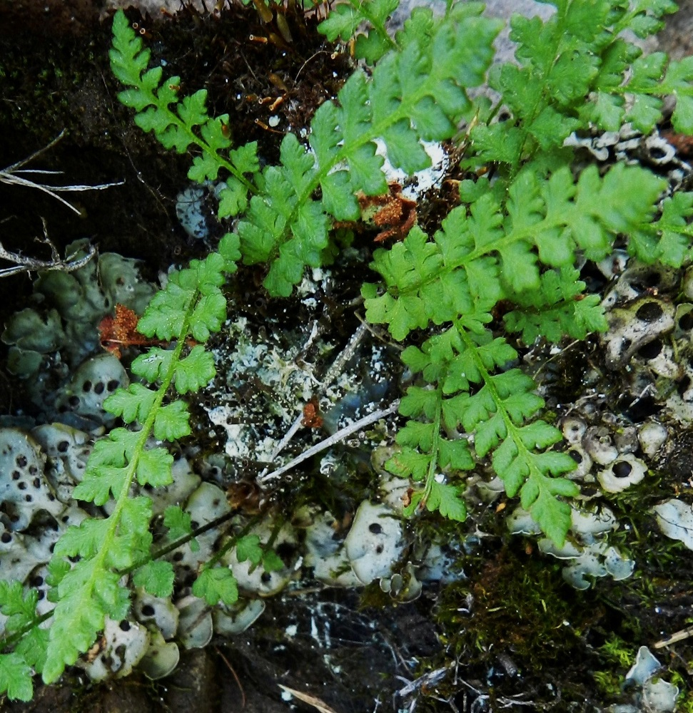 Woodsia alpina - tunturikiviyrtin lehdet ovat kertaalleen parilehdykkäiset. Sivulehdykät ovat leveänpuikeat tai kolmiomaiset. Ks, Kuusamo, Juuma,  Ala-Juumajärven koillisrannalla olevan leirintäalueen ja Jyrävänjärvelle vievän Niskakosken välinen kallioseinämämuodostuma, joka nousee suoraan Ala-Juumajärvestä, länsipuolen seinämä, 9.7.2011. Copyright Hannu Kämäräinen.