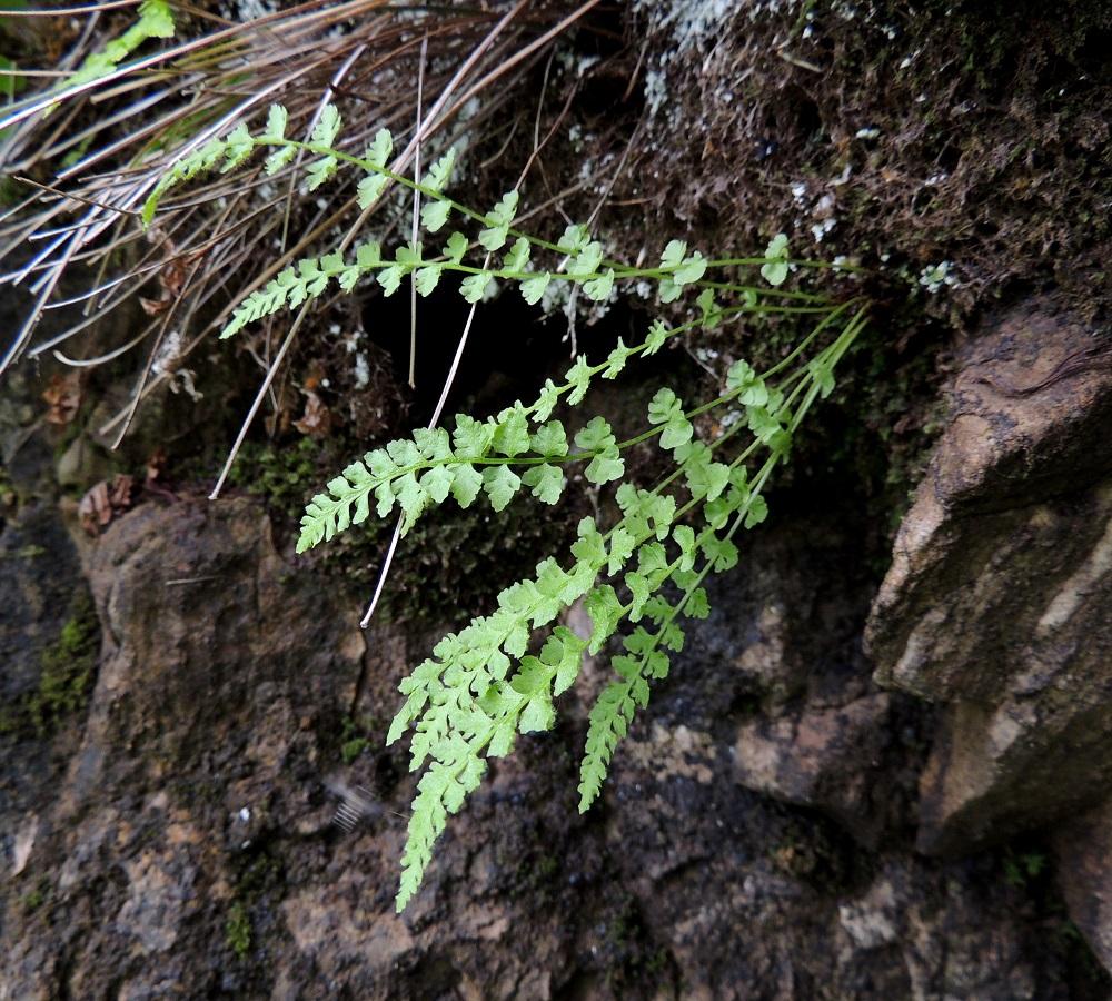 Woodsia glabella - kaljukiviyrtin lehdet kasvavat maavarren kärjestä tavallisesti noin 2-10 lehden ryhmänä. Maavarsi on lyhyt, yleensä pysty ja juurehtiva. Se ankkuroituu usein kallionrakoihin. Ks, Kuusamo, Juuma, Lammasvuoma, rotkolaakson seinämärinne hieman Oulangan kansallispuiston luoteispuolella, 13.7.2015. Copyright Hannu Kämäräinen.