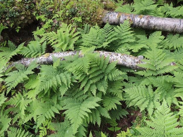 Diplazium sibiricum - taigamyyränportaan lehdet ovat ruotineen tavallisesti noin 30-60 cm pitkiä. Ne nousevat maavarresta yksittäin, vaikka sitä ei helposti huomaakaan tiheässä kasvustossa. Ympärillä näkyy huomattavasti pienempiä metsäimarteen, Gymnocarpium dryopteris, lehtiä. Ks, Kuusamo, Juuma, Jyrävänjärven pohjoispään itäpuoli, Lammasvuoma, rotkolaakson alarinne ja pohja-alue lähellä Oulangan kansallispuiston rajaa, 13.7.2015. Copyright Hannu Kämäräinen.