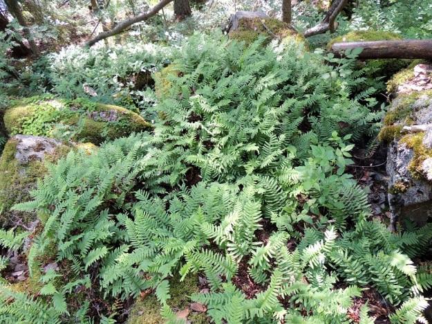 Polypodium vulgare - pohjankallioimarteen maavarsi on vaakasuora, pitkähkö ja haarova. Joka suuntaan suikertaessaan se synnyttää kasvustollisesti tiheitä ja laajojakin lehtiryppäitä. Tällaisen kasvuston äärellä on mahdotonta arvioida, kuinka monta eri yksilöä siinä on vai onko koko komeus lähtöisin samasta emoyksilöstä. EH, Asikkala, Kalkkinen, Kymijoen koillisrannalla olevan Virtovuoren jyrkältä kalliomäeltä rantaan laskeva lehtometsärinne, luonnonsuojelualue, 3.7.2013. Copyright Hannu Kämäräinen.