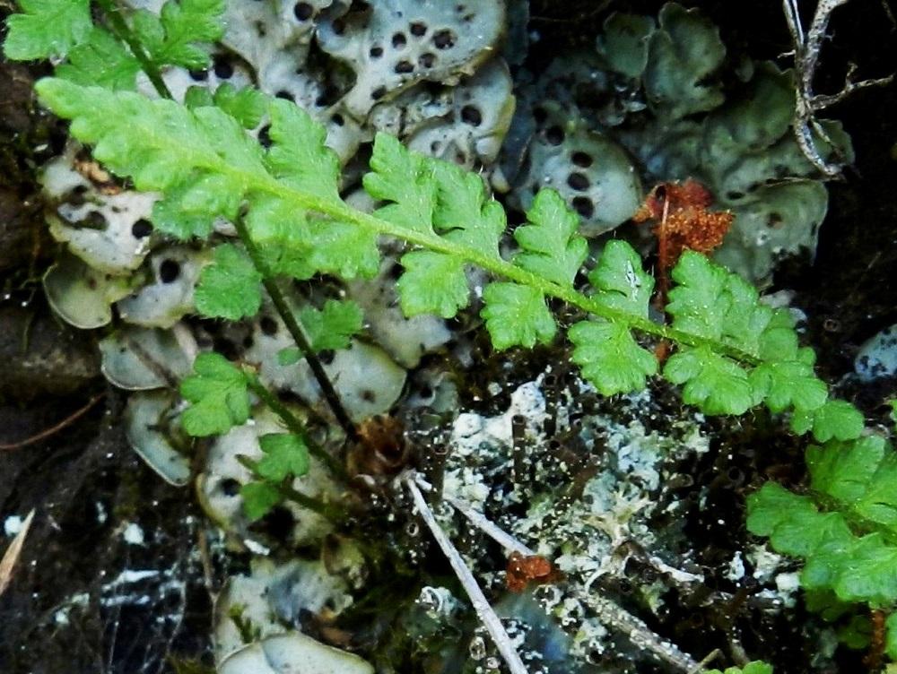 Woodsia alpina - tunturikiviyrtin sivulehdyköissä on yleensä yhdestä kolmeen ja aika harvoin neljä sivuliuskaparia. Isoimmat lehdykät ovat pienimpiä lehtiä lukuun ottamatta tavallisesti noin 5-10 mm pitkiä ja noin 4-8 mm leveitä. Lehdyköiden yläpinta on vähäkarvainen tai kaljuhko. Ks, Kuusamo, Juuma,  Ala-Juumajärven koillisrannalla olevan leirintäalueen ja Jyrävänjärvelle vievän Niskakosken välinen kallioseinämämuodostuma, joka nousee suoraan Ala-Juumajärvestä, länsipuolen seinämä, 9.7.2011. Copyright Hannu Kämäräinen.
