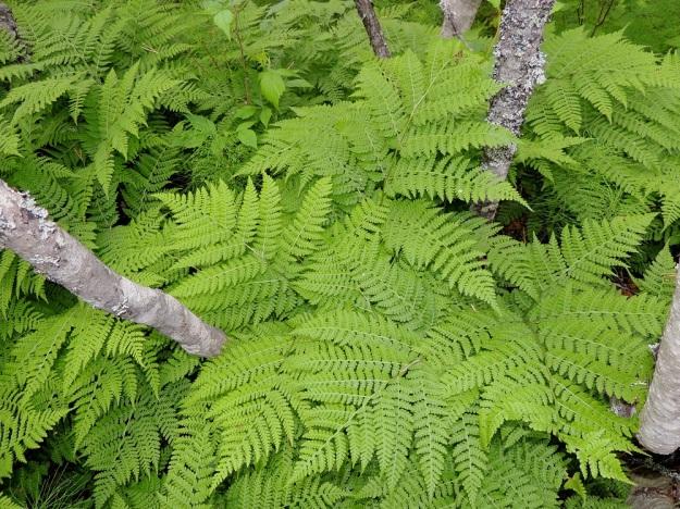 Diplazium sibiricum - taigamyyränportaan lehtilapa on leveän kolmiomainen, pitkäsuippuisen teräväkärkinen ja tavallisesti noin 15-30 cm pitkä sekä tyveltään noin saman levyinen. Lehtiruoti on yleensä lavan kanssa samaa mittaluokkaa. Kn, Suomussalmi, Kiannanniemi, Vasonniemi, Kiantajärven Lautalahden rantaan loivasti laskeva metsänotkelma, joka muuttuu allikkoiseksi leppäkorveksi, luonnonsuojelualue, 12.7.2015. Copyright Hannu Kämäräinen.