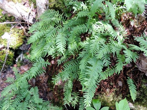 Polypodium vulgare - pohjankallioimarteen tiheän kasvuston nähdessään ei uskoisi, että lehdet nousevat maavarresta lähes aina yksittäin. Niinpä sammaleen ja kivenpinnan välissä täytyy silloin risteillä hyvin tiheä ja osin päällekkäinenkin maavarsikko. Lehdet talvehtivat ja kuihtuvat vasta kesän tullen, kun uudet lehdet ovat kasvaneet yhteyttämään ja keräämään ravintoa maavarsiin. EH, Asikkala, Kalkkinen, Kymijoen koillisrannalla olevan Virtovuoren jyrkältä kalliomäeltä rantaan laskeva lehtometsärinne, luonnonsuojelualue, 3.7.2013. Copyright Hannu Kämäräinen.