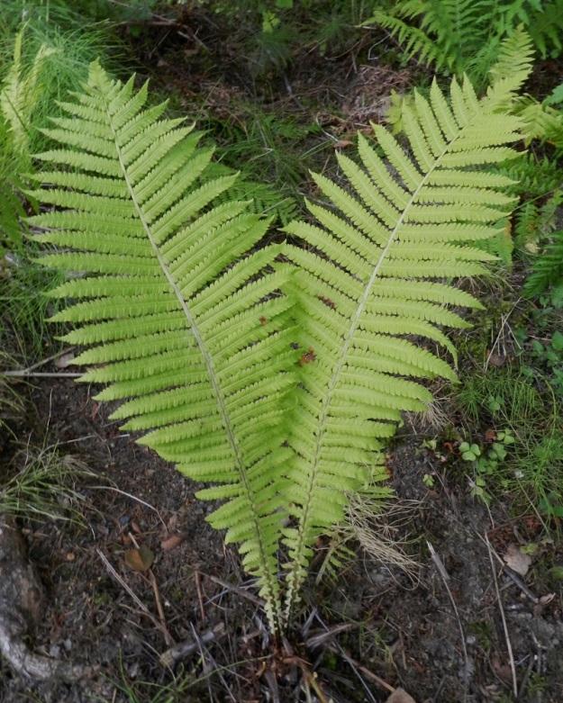 Matteuccia struthiopteris - kotkansiiven Itiöpesäkkeettömät lehdet ovat pehmeät, lähinnä vastapuikeat ja hyvin pitkältä matkalta kapenevatyviset sekä kärjestään lyhytsuippuiset. Lapa on leveimmältä kohtaa tavallisesti noin 20-25 cm leveä mutta tyviosastaan vain noin 1-2 cm leveä. Se on kertaalleen parilehdykkäinen. Sivulehdykät ovat keskirangalla tiheästi vuoroittain tai kärki- ja tyviosassa myös vastakkain. EH, Hattula, Sattula, Lehijärven etelärannan lehtometsä, Lehijärventien varressa, 12.8.2011. Copyright Hannu Kämäräinen.