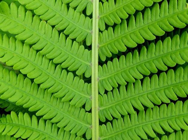 Matteuccia struthiopteris - kotkansiiven Itiöpesäkkeettömien lehtien sivulehdykät ovat lavan leveimmällä kohtaa tyveltään noin 15-18 mm leveät ja hitaasti lehdykän kärkeä kohti kapenevat. Lehdykät ovat syvään parijakoiset ja päältä kaljut Niiden sivuliuskat ovat pitkulaiset, tylpähkö- tai pyöreäkärkiset, ehyt- tai hyvin matalasti nyhälaitaiset ja keskilehdyköiden tyvellä yleensä noin 6-8 mm pitkät ja noin 3 mm leveät. EH, Hämeenlinna, Loimalahti, Kuokkamaa, avoin sähkölinjakaista Myllyojan puron länsirannalla, 25.6.2014. Copyright Hannu Kämäräinen.