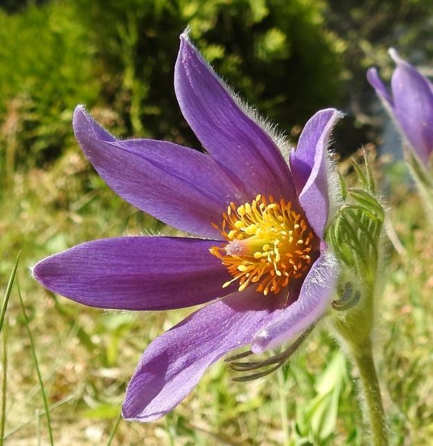 Pulsatilla vulgaris subsp. vulgaris - ketokylmänkukan subsp. lännenkylmänkukan kukka on avoimimmillaan läpimitaltaan noin 55-70 mm. Kehälehdet ovat tavallisesti noin 25-40 mm pitkät. Keltaisia heteitä on runsaasti ja myös emejä on monta. Varsinaiset terälehdet ovat muuntuneet pieniksi, hedetukun juurella oleviksi mesilehdiksi. EH, Hämeenlinna, Loimalahti, Hirsimäki, 19.5.2018. Copyright Hannu Kämäräinen.