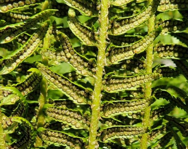 Polystichum lonchitis - suippohärkylän sivulehdyköiden laidat ovat ainakin itiöpesäkeryhmien kasvaessa alaspäin kääntyneet. Alkuvaiheessaan kellanvihreät Itiöpesäkeryhmät sijaitsevat kahdessa, tiheässä rivissä sivulehdyköiden alapinnalla. EnL, Enontekiö, Kilpisjärvi, Saanan lounainen alarinne lehtojensuojelualueen lounaispuolella, Käsivarrentieltä (21) loivasti Saanaa kohti nouseva tunturikoivikkorinne, 16.7.2013. Copyright Hannu Kämäräinen.
