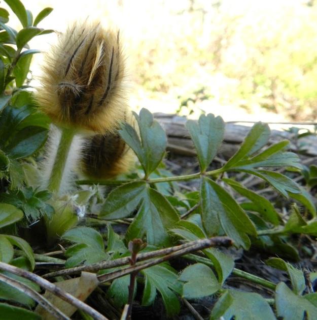 Pulsatilla vernalis - kangasvuokon nuppuiset kukat kehittyvät varsilehtikiehkuran sisällä, Nupun ympärillä olevat varsilehdet ovat noin 1-3,5 cm pitkiä ja tyvestään yhdiskasvuisia ja kärkiosastaan pitkästi kapealiuskaisia. Liuskat ovat haarattomia, ruskeita tai sinipunertavia ja yleensä kelta- tai ruskehtava-karvaisia. EH, Hämeenlinna, Tuulos, Mäntynummi, 13.5.2012. Copyright Hannu Kämäräinen.