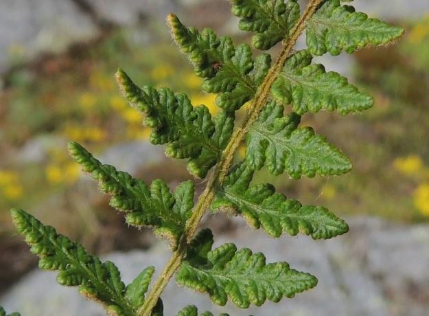 Woodsia ilvensis - karvakiviyrtin sivulehdykät kaljuuntuvat päältä jossain määrin ikääntyessään. Lehdykät ovat kapeanpuikeat tai kapean kolmiomaiset ja pariliuskaiset. Liuskapareja on yleensä 4-8. Sivuliuskat ovat pyöreäpäiset ja lavan sekä lehdykän tyvipuolella usein noin 3-5 mm pitkät ja noin 1-3 mm leveät. Ne ovat laidoiltaan ehyet, nyhäiset tai hieman hampaiset ja laidoiltaan alaspäin kääntyneet. EH, Hattula, Lahdentaka, Vanajaniemi, Vohlion kallioniemeke Vanajaveden Vanajanselän rannassa, 25.6.2016. Copyright Hannu Kämäräinen.