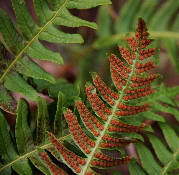 Polypodium vulgare - pohjankallioimarteen lehdet talvehtivat elinvoimaisina ja hoitavat kevätkauden yhteyttämisen. On suorastaan hämmästyttävää, kuinka hyväkuntoisilta ja aivan kuin uuteen itiöpölytykseen valmiilta myös itiöpesäkeryhmät näyttävät. EH, Hämeenlinna, Luhtiala, Aulangonjärven kaakkoispään koillispuoli, Käärmekallio, luonnonsuojelualue, 1.5.2011. Copyright Hannu Kämäräinen.