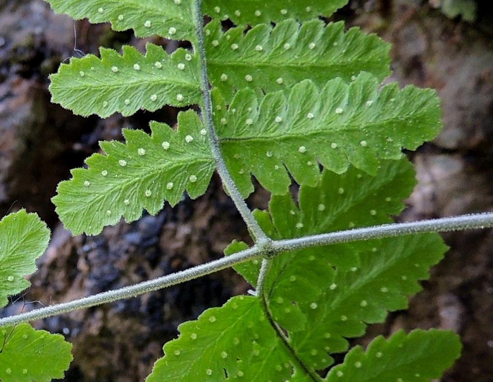 Gymnocarpium continentale - idänimarteen lehden ja lehdyköiden keskiranka on hyvin tiheästi nystykarvainen. Lehtien karvoituksen näkyminen vaatii vastavaloa ja hyvää näköä tai suurennosta. Itiöpesäkeryhmät ovat pyöreät, katesuomuttomat ja kypsinä ruskeahkot sekä läpimitaltaan enintään noin 1 mm. Kuvan sisimmäisen pikkulehdykkäparin pienemmän lehdykän suhde isompaan on tasan 4/5. Ks, Kuusamo, Juuma, Lammasvuoma, rotkolaakson seinämärinne hieman Oulangan kansallispuiston luoteispuolella, 13.7.2015. Copyright Hannu Kämäräinen.