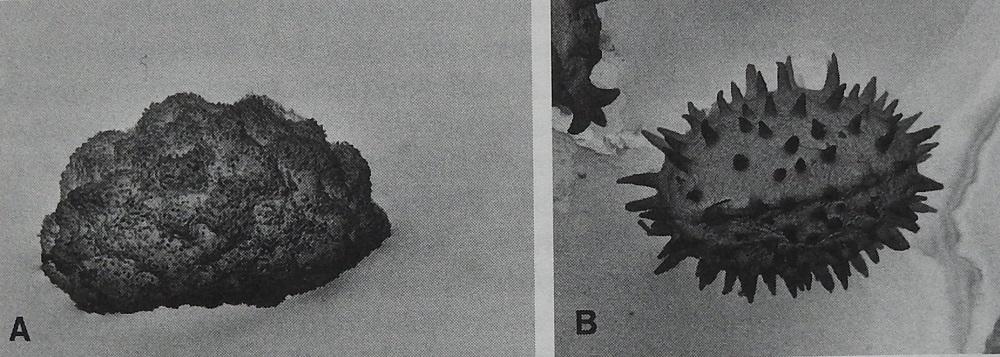 Cystopteris fragilis - haurasloikko. A. Kalkkihaurasloikon, subsp. dickieana, itiöt ovat piikittömiä ja matalaharjuisia. B. Kalliohaurasloikon, subsp. fragilis, itiöt ovat tiheään piikkisiä. Mikroskooppikuva teoksesta Flora Nordica, Volume 1, toimittaneet Bengt Jonsell ja Thomas Karlsson, Stockholm 2000, s. 63.