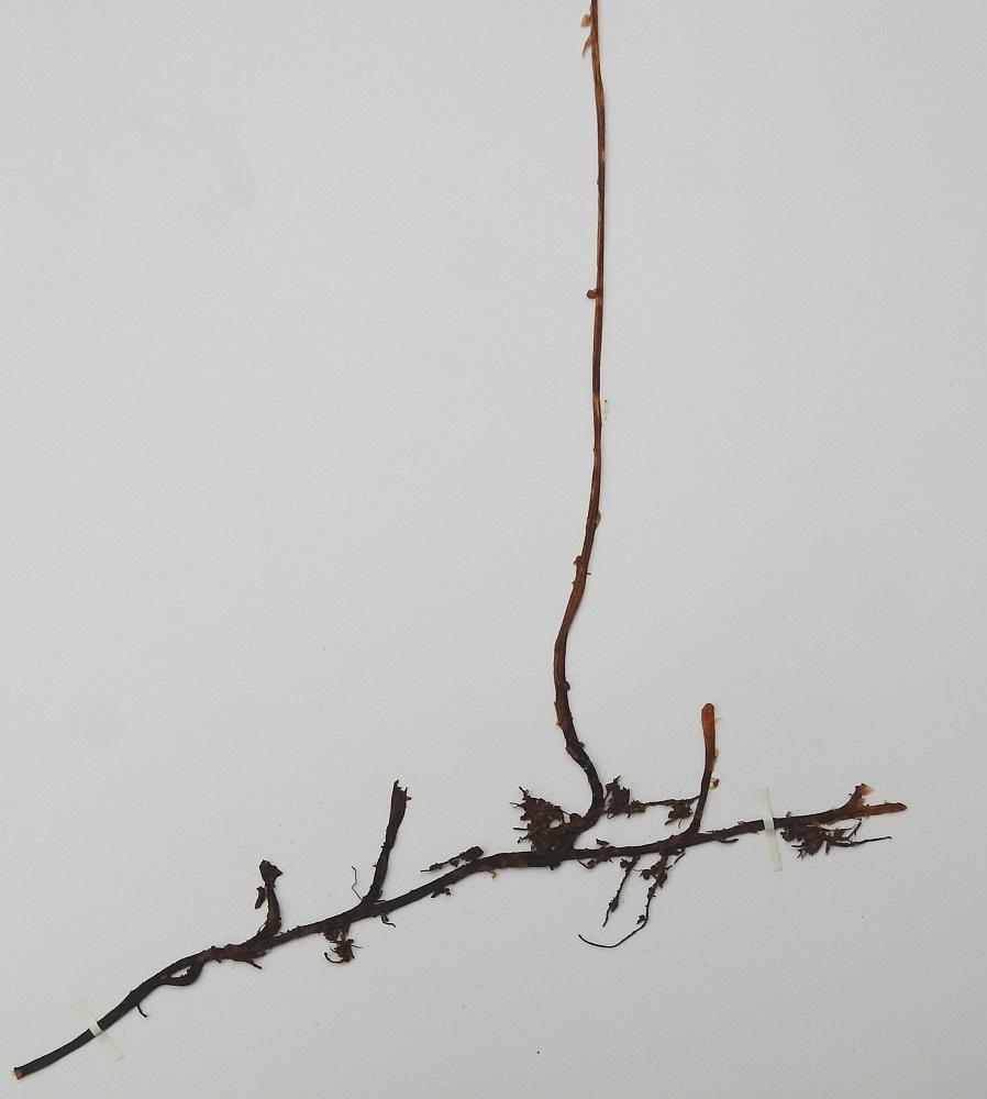Cystopteris montana - vuoriloikon maavarsi on vaakatasoinen, pitkä, harvakseen haarova ja niukahkosti juurehtiva sekä mustahko. Lehtiruoti on pysty tai tyveltä koheneva, ohut ja 1-2 kertaa lehtilavan pituinen. Siinä on harvakseen vaaleanruskeita suomuja. Kn, Puolanka, Väyrylä, Pahajärven eteläpuolella olevan purokosteikon luonnonsuojelualueen eteläpuoli, vetinen alanko, 11.7.1999. Kuva näytteestä, copyright Hannu Kämäräinen.