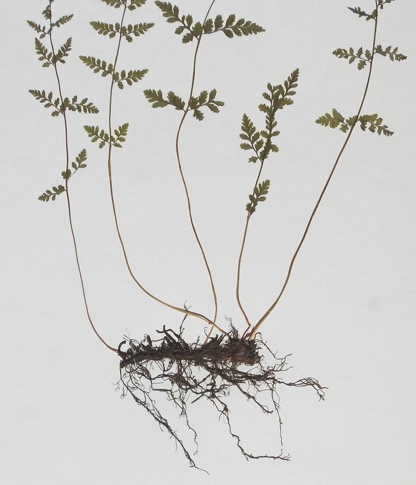 Cystopteris fragilis subsp. fragilis - haurasloikko subsp. kalliohaurasloikko. Haurasloikon maavarsi on lyhyt tai lyhyehkö, juurehtiva ja vaakatasoinen. Se on musta tai mustanruskea, kärkiosiltaan ruskeasuomuinen ja siinä on runsaasti vanhoja lehdentyviä. Lehdet nousevat maavarresta harvana kimppuna tai ryhmänä. PS, Vieremä, Konolanmäki, Saarisjärven itäpuoli, Konolanmäen länsirinteen yläosa, Vartialan tila, osin kallioinen ja kuiva hakamaa, YKJ 4.7.1985. Kuva näytteestä, copyright Hannu Kämäräinen.