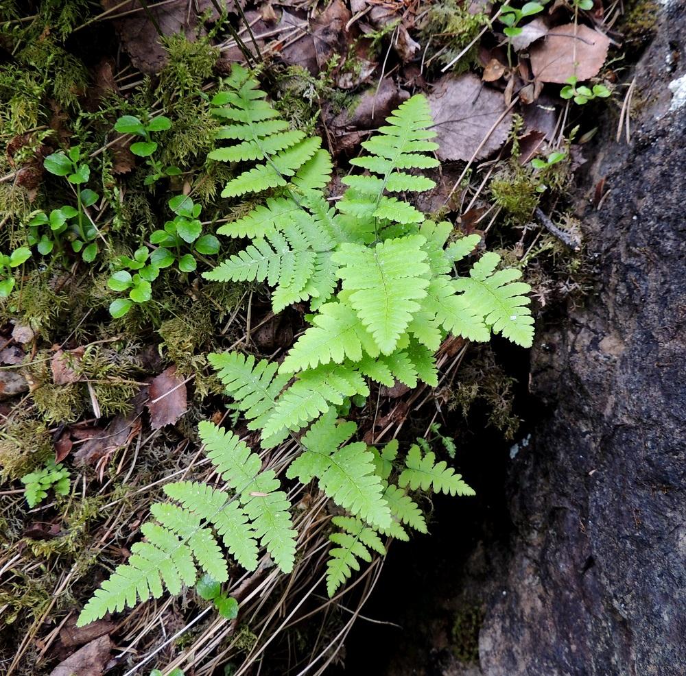 Gymnocarpium continentale - idänimarre viihtyy kalliorinteillä ja -seinämillä. Sen suikertava maavarsi ankkuroituu kallionrakoihin ja takertuu sammalpohjaan. Kuvan alimmainen lehtilapa on noin 1,2 kertaa leveyttään pitempi. Sammalpinnalla näkyy edellisvuotisia, kuihtuneita ruoteja ja vanamon, Linnaea borealis, varsia. Ks, Kuusamo, Juuma, Lammasvuoma, rotkolaakson seinämärinne hieman Oulangan kansallispuiston luoteispuolella, 13.7.2015. Copyright Hannu Kämäräinen.