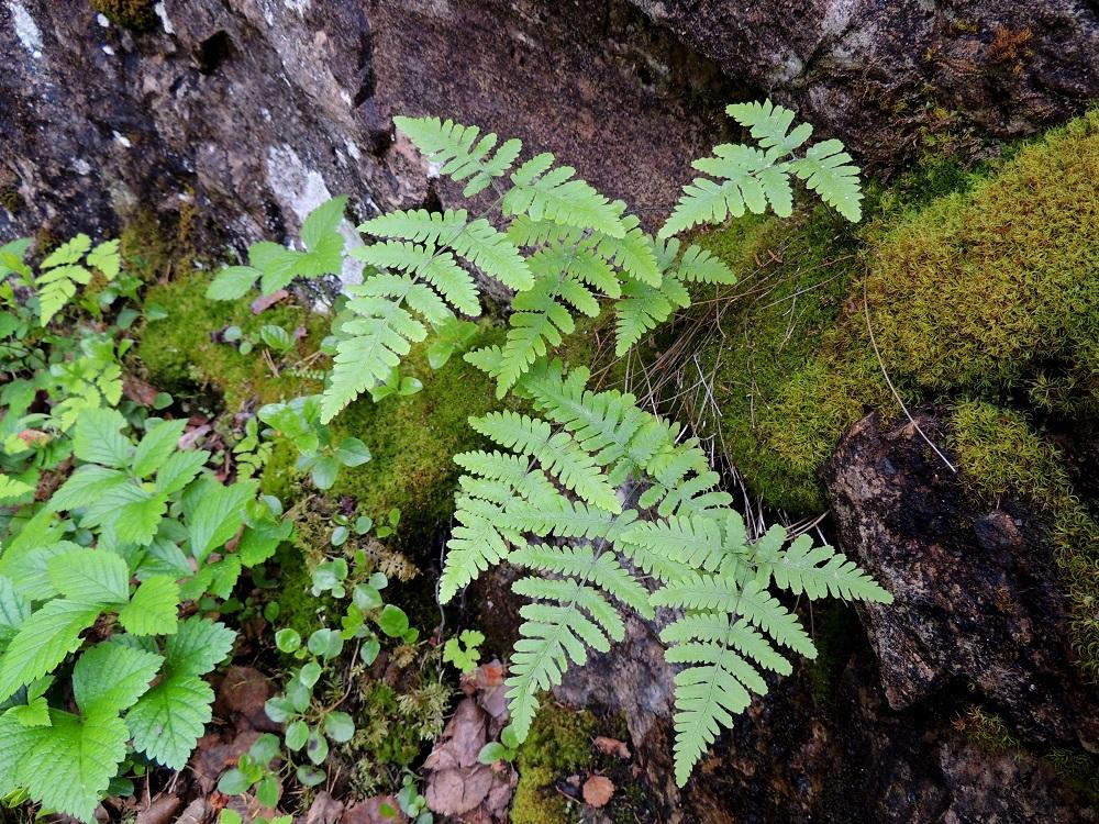 Gymnocarpium robertianum - kalkki-imarretta esiintyy Suomessa vain Kuusamossa ja Etelä-Sallassa yhteensä noin parissakymmenessä kasvupaikassa. Se viihtyy kalkkikallioiden ja kallioseinämien raoissa ja hyllyillä sekä tyvilouhikoissa. Kuvassa seuralaisina lillukka, Rubus saxatilis ja vanamo, Linnaea borealis. Ks, Kuusamo, Juuma, Lammasvuoma, rotkolaakson seinämärinne hieman Oulangan kansallispuiston luoteispuolella, 13.7.2015. Copyright Hannu Kämäräinen.