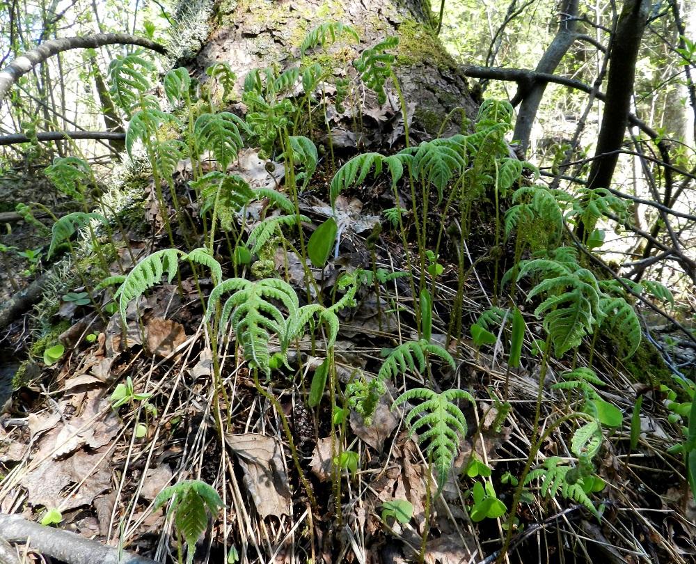 Phegopteris connectilis - korpi-imarteen lehdet eivät talvehdi. Uudet lehdet nousevat muiden saniaisten tavoin avautuvina kieppeinä. Täysikasvuisissa lehdissä lehtiruoti on yhdestä kahteen kertaan lehtilavan mittainen. EH, Hämeenlinna, Lammi, Vähä-Evo, Kallio- ja Ekojärven välinen puro Vähä-Evontien itäpuolella, tervaleppäkorpi, puronvarsi, 13.5.2012. Copyright Hannu Kämäräinen.