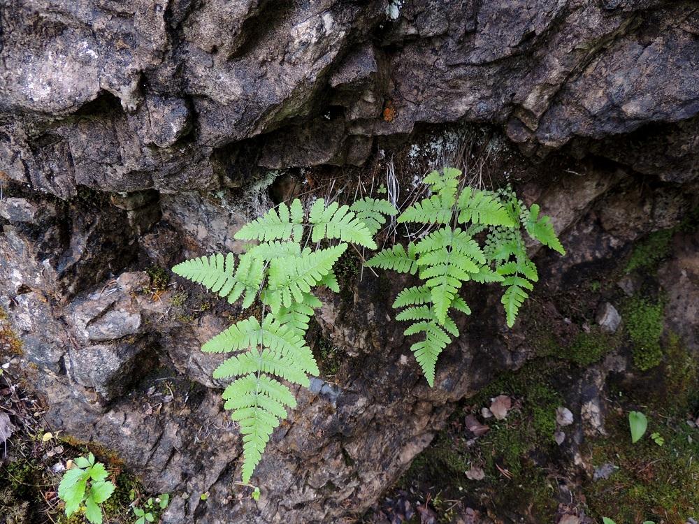 Gymnocarpium continentale - idänimarre kasvaa Koillismaalla usein metsäisessä maastossa, mutta varsinaiselta metsäpohjalta sitä on turha etsiä. Se on kalkinsuosija ja tarvitsee juurehtivalle maavarrelleen tuntuman kalliopintaan. Usein sen tapaakin roikkumasta paljaan seinämän raoista. Kasvuston oikeassa laidassa, lehtien alla, on seuralaisena kaljukiviyrtti, Woodsia glabella. Ks, Kuusamo, Juuma, Lammasvuoma, rotkolaakson seinämärinne hieman Oulangan kansallispuiston luoteispuolella, 13.7.2015. Copyright Hannu Kämäräinen.