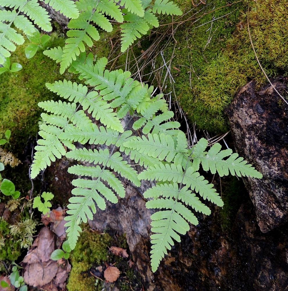 Gymnocarpium robertianum - kalkki-imarteen hoikka maavarsi suikertaa vaakatasossa kallionraoissa. Lehdet kasvavat siitä yksittäin ja ovat yleensä muutaman ryhmissä. Lehtilapa on tavallisesti kolmiomainen ja noin 0,8-1,3 kertaa niin pitkä kuin leveä. Kuvan oikeanpuolimmaisessa lehdessä em. suhde on 1,0. Ks, Kuusamo, Juuma, Lammasvuoma, rotkolaakson seinämärinne hieman Oulangan kansallispuiston luoteispuolella, 13.7.2015. Copyright Hannu Kämäräinen.