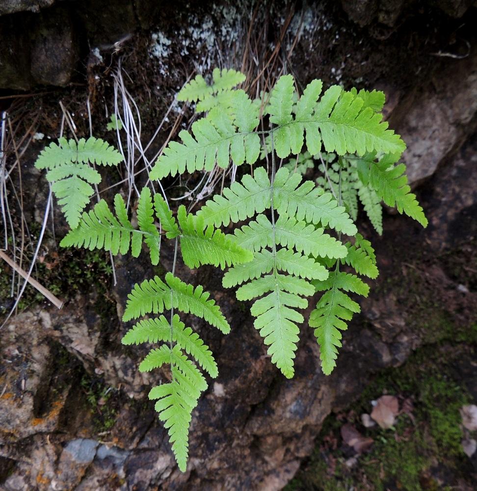 Gymnocarpium continentale - idänimarteen lehdet versovat maavarresta yksittäin. Kasvustot ovat yleensä muutaman lehden ryhminä. Lehtilapa on tavallisesti kapeahkon kolmiomainen tai kapeahkon puikea, suippokärkinen ja noin 5-15 cm pitkä sekä alaosastaan noin 5-13 cm leveä. Se on noin 0,9-1,5 kertaa niin pitkä kuin leveä (kuvan oikeanpuolimmaisessa lehdessä suhde on 1,2). Ks, Kuusamo, Juuma, Lammasvuoma, rotkolaakson seinämärinne hieman Oulangan kansallispuiston luoteispuolella, 13.7.2015. Copyright Hannu Kämäräinen.