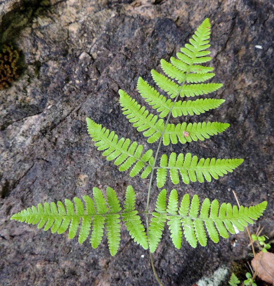 Gymnocarpium robertianum - kalkki-imarteen lehtilavassa on ikään kuin kolme lehdykkää, joista kärkilehdykkä on kolmiomainen ja huomattavasti kahta muuta, kapeanpuikeaa lehdykkää isompi. Lavan kärkiosa on kertaalleen parilehdykkäinen ja tyviosa kahteen kertaan parilehdykkäinen. Kuvan lehtilapa on 0,9 kertaa niin pitkä kuin leveä. Täytesalaman käyttö kuvattaessa on tehnyt lehdestä kirkkaammanvihreän kuin se luonnossa on. Ks, Kuusamo, Juuma, Lammasvuoma, rotkolaakson seinämärinne hieman Oulangan kansallispuiston luoteispuolella, 13.7.2015. Copyright Hannu Kämäräinen.