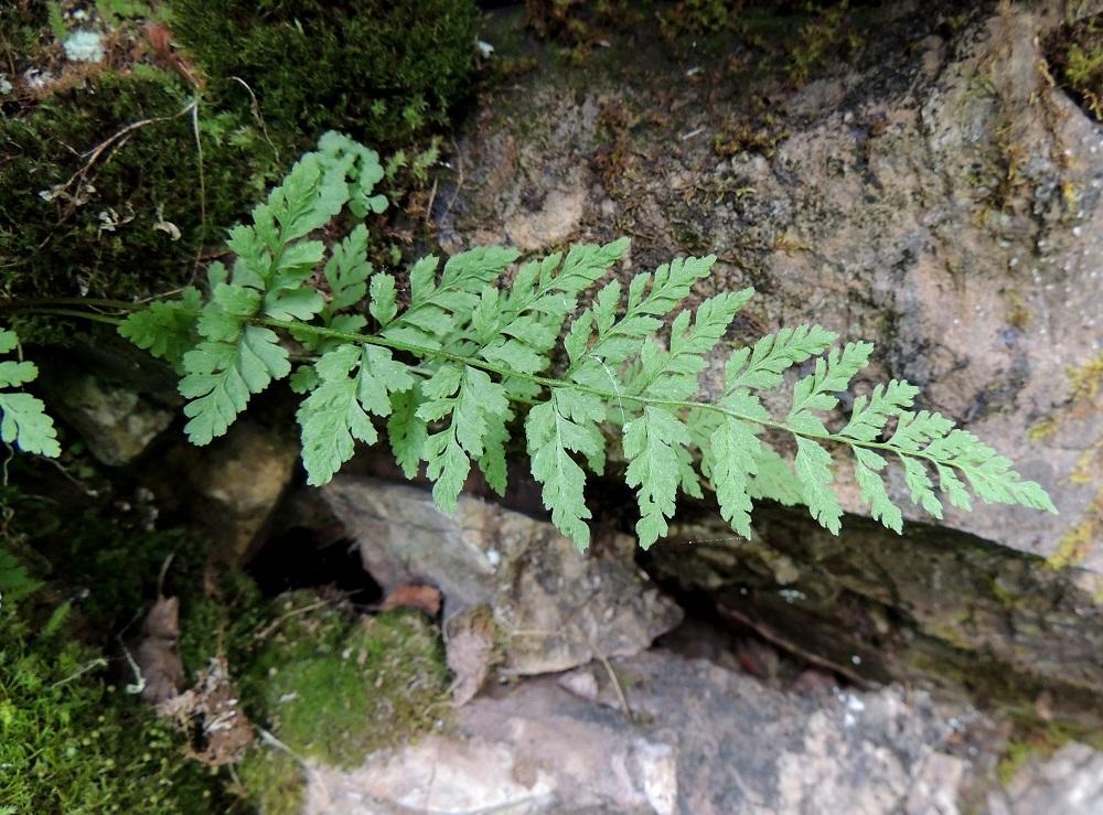 Cystopteris fragilis subsp. dickieana - haurasloikko subsp. kalkkihaurasloikko voi olla kuvan tavoin myös kookkaampi ja lavaltaan sekä sivulehdyköiltään teräväkärkinen. Pikkulehdyköitäkin on liuskaisen kärkiosan lisäksi 4-5 ja ne ovat pituuteensa nähden kapeahkoja. Ks, Kuusamo, Juuma, Lammasvuoma, rotkolaakson seinämärinne hieman Oulangan kansallispuiston luoteispuolella, 13.7.2015. Copyright Hannu Kämäräinen.