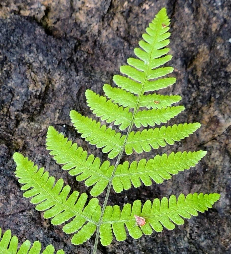 Gymnocarpium robertianum - kalkki-imarteen lehtilapa on suippopäinen. Kärkiosan alemmat parilehdykät ovat usein tyviosastaan pariosaiset ja ulompana parijakoiset eli sivuliuskat eivät jakaudu rankaan saakka. Lavan kärkeä kohti sivulehdykät yksinkertaistuvat ja muuttuvat viimein pelkiksi sivuliuskoiksi. Ks, Kuusamo, Juuma, Lammasvuoma, rotkolaakson seinämärinne hieman Oulangan kansallispuiston luoteispuolella, 13.7.2015. Copyright Hannu Kämäräinen.