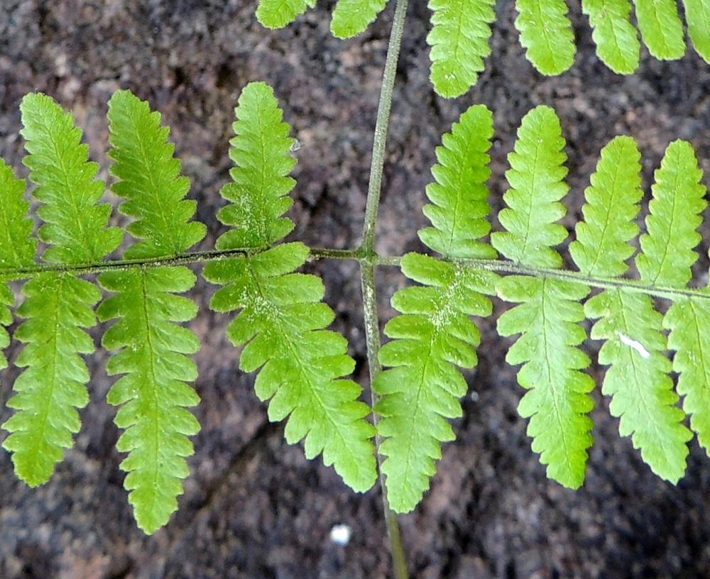 Gymnocarpium robertianum - kalkki-imarteen lehtilavan tyvilehdyköiden sisemmät eli päärangan puoleiset pikkulehdykät ovat keskenään erikokoiset. Parin alempi pikkulehdykkä on ylempää pitempi, tavallisesti noin 15-30 mm pitkä ja noin 8-15 mm leveä. Pienemmän eli ylemmän pikkulehdykän keskiosan leveys on 3/5 isomman lehdykän keskiosan leveydestä. Lehdykät ovat päältä lyhyesti nystykarvaiset. Nystykarvat muodostavat usein myös tiheitä ryhmiä. Ks, Kuusamo, Juuma, Lammasvuoma, rotkolaakson seinämärinne hieman Oulangan kansallispuiston luoteispuolella, 13.7.2015. Copyright Hannu Kämäräinen.
