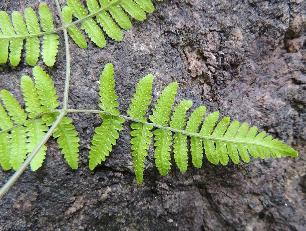 Gymnocarpium robertianum - kalkki-imarteen lehtilavan alin lehdykkä on kapeanpuikea tai kapean kolmiomainen. Pikkulehdyköiden sivuliuskat ovat lehdykän tyviosassa yleensä tasasoukan pitkulaiset ja päästään tylpät tai pyöreähköt sekä laidoiltaan ja päästään ehyehköt tai hampaiset. Ks, Kuusamo, Juuma, Lammasvuoma, rotkolaakson seinämärinne hieman Oulangan kansallispuiston luoteispuolella, 13.7.2015. Copyright Hannu Kämäräinen.