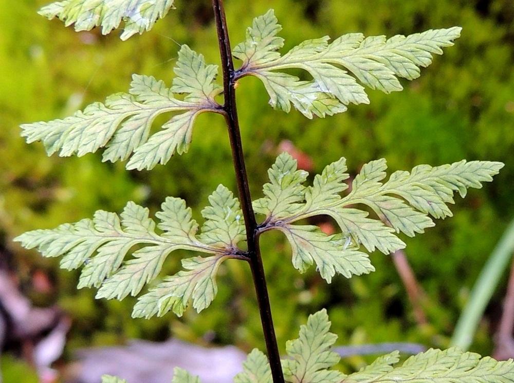 Cystopteris fragilis subsp. fragilis - haurasloikko subsp. kalliohaurasloikko. Haurasloikon pikkulehdykät ovat puikeat, soikeahkot tai pitkänpyöreät, terävä tai tylppäkärkiset ja suippotyviset sekä laidoiltaan hampaiset tai liuskaiset. Ne ovat alempien sivulehdyköiden tyvipuolella tavallisesti noin 3-10 mm pitkät ja noin 2-6 mm leveät. Pikkulehdyköiden suonet ovat hyvin näkyvillä ja johtavat laitahampaiden ja -liuskojen kärkeen. ES, Lappeenranta, Mäntylä, Mäntylänmäen luonnonsuojelualue Vaalimaantien ja Mattilantien kulmauksessa, kalkkilouhoksen lähistöllä, 8.7.2015. Copyright Hannu Kämäräinen.