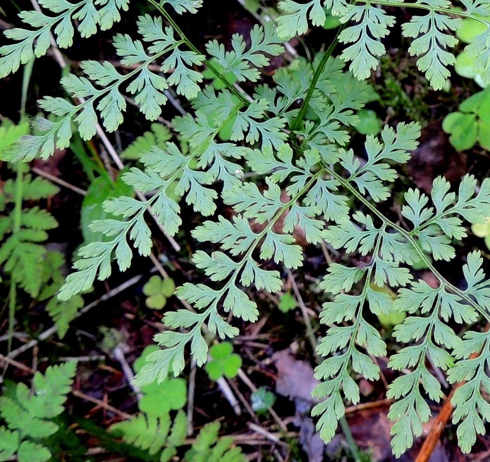 Cystopteris montana - vuoriloikon alimpien sivulehdyköiden sisimmät eli päärangan puoleiset pikkulehdykät ovat kapeanpuikeat ja keskenään hyvin erikokoiset. Pikkulehdykkäparin alempi lehdykkä on lehtilavan koosta riippuen yleensä noin 20-45 mm pitkä ja leveimmältä kohtaa noin 8-20 mm leveä. Ylempi pikkulehdykkä on noin 8-20 mm pitkä ja leveimmältä kohtaa noin 5-10 mm leveä. Kn, Puolanka, Väyrylä, Pahajärven eteläpuolella olevan purokosteikon luonnonsuojelualueen eteläpuoli, vetinen alanko, 12.7.2015. Copyright Hannu Kämäräinen.