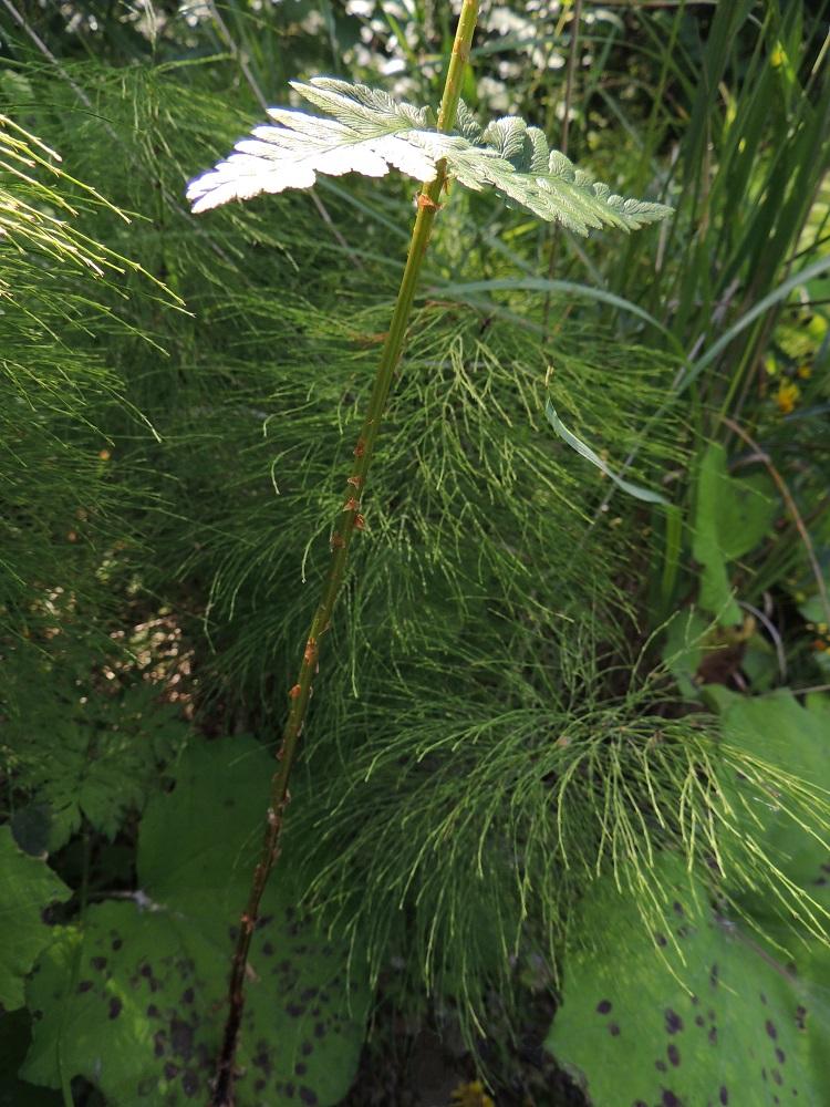 Dryopteris cristata - korpialvejuuren lehtiruoti on yleensä noin puolet lehtilavan pituudesta. Ruoti on tyveä lukuun ottamatta vihreä tai kellanvihreä ja harvakseen tai tiheämmin vaaleanruskeasuomuinen. EH, Hämeenlinna, Harviala, Katumajärven eteläpään kaakkoispuoli, Vanajanlinnantien varressa, Suonpään tilan eteläpuolella oleva kuusikkokorpi, 26.7.2013. Copyright Hannu Kämäräinen.
