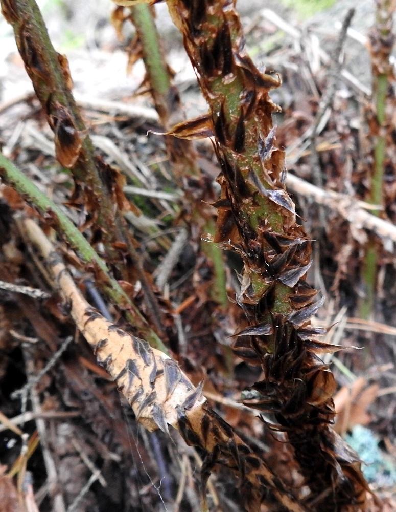 Dryopteris dilatata - etelänalvejuuren lehtiruoti on yleensä pitkästi tiheäsuomuinen. Suomut ovat keskenään aika samankokoisia ja -muotoisia. Ne ovat lähinnä kapean kolmiomaisia tai kapeanpuikeita, teräväkärkisiä ja noin 10-15 mm pitkiä sekä leveimmältä kohtaa noin 3-5 mm leveitä. Suomut ovat yleensä ainakin laidoiltaan vaaleanruskeat, mutta erityisesti ruodin tyvipuolella ne ovat enemmän tai vähemmän leveästi tumman- tai lähes mustanruskeat. U, Helsinki, Pohjois-Haaga, Runar Schildtin puisto, sekametsäpohjainen puistolaakso, 26.8.2018. Copyright Hannu Kämäräinen.