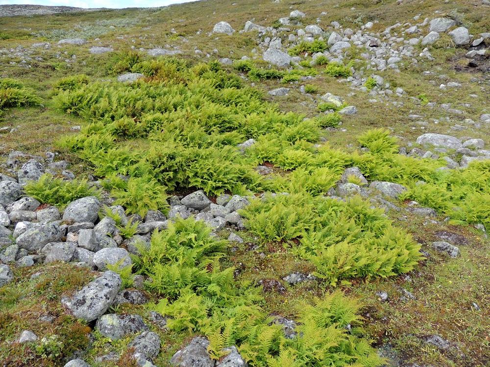 Athyrium distentifolium - tunturihiirenporras viihtyy hyvin avoimella ja kivikkoisella paljakalla, kunhan maavarret saavat riittävästi tihkuvaa kosteutta. EnL, Enontekiö, Kilpisjärvi, Mallan luonnonpuisto, Kalottireitin varsi Iso-Mallan kaakkoisella alarinteellä, n. 150 m Mallajávriin laskevasta purosta itään, loiva paljakkarinne, 655 m mpy, 19.7.2013. Copyright Hannu Kämäräinen.