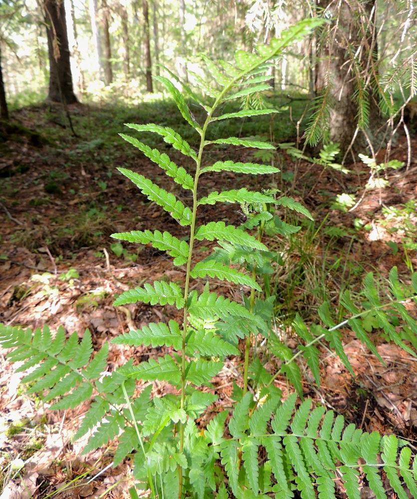 Dryopteris cristata - korpialvejuuren lehdet ovat yleensä kertaalleen parilehdykkäisiä. itiöpesäkkeelliset lehdet ovat tavallisesti noin 40-70 cm pitkiä. Niiden sivulehdykät ovat keskimäärin harvemmassa kuin pienempien itiöpesäkkeettömien lehtien. EH, Hämeenlinna, Harviala, Katumajärven eteläpään kaakkoispuoli, Vanajanlinnantien varressa, Suonpään tilan eteläpuolella oleva kuusikkokorpi, 26.7.2013. Copyright Hannu Kämäräinen.