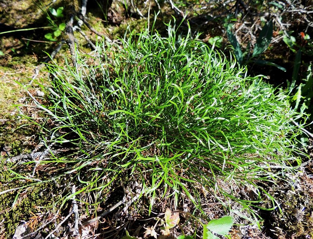 Asplenium septentrionale - liuskaraunioisen lehdet ovat tavallisesti noin 5-15 cm pitkät. V, Salo, Särkisalo, Förby, merenrantaan ja venesatamaan päättyvän maantien 1823 länsipää, maantien pohjoispuolelta nouseva kalkkikallioalue, luonnonsuojelualue, 11.7.2014. Copyright Hannu Kämäräinen.